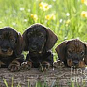 Wire-haired Dachshund Puppies Art Print