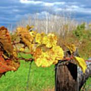 Withered Grape Vine Art Print