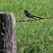 Willie Wagtail Art Print