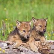 Wolf Cubs On Log Art Print