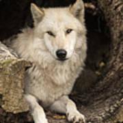 Wolf In A Log Art Print