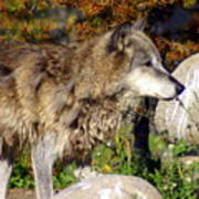 Wolf On Patorl Art Print