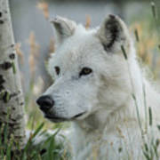 Wolf, White Art Print