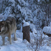 Wolf Wonderland Art Print