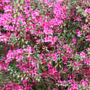 Wonderful Pink Azaleas Art Print