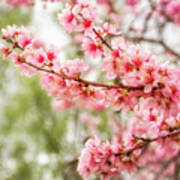 Wonderful Pink Cherry Blossoms At Floriade Art Print
