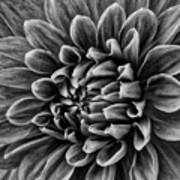 Wonderful Tones Dramantic Dahlia Art Print