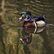 Wood Duck Autumn Reflections Art Print