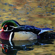 Wood Duck Drake Art Print