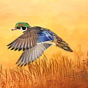 Wood Duck In Flight Art Print