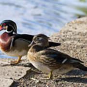 Wood Duck Pair By The Lake Art Print
