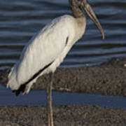 Wood Stork In The Final Light Of Day Art Print