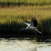 Wood Stork Winged Flight Art Print