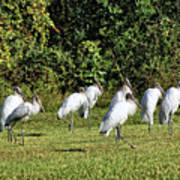 Wood Storks 2 - There Is Always One In A Crowd Art Print
