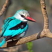 Woodland Kingfisher Halcyon Art Print