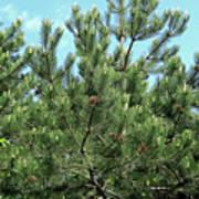Woodland Pines Art Print