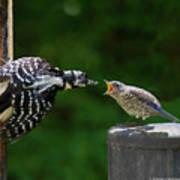 Woodpecker Feeding Bluebird Art Print