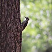 Woodpecker In New Mexico Art Print