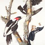 Woodpeckers Print by John James Audubon