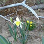 Woodsy Narcissus Art Print
