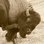 Woolly Itch ... Montana Art Photo Art Print