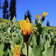 Woolly Mule's-ear At Lassen Park Art Print