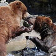 Wrestling Grizzly Bears In A Shallow River Art Print