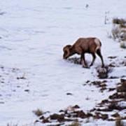 Wyoming Big Horn Art Print
