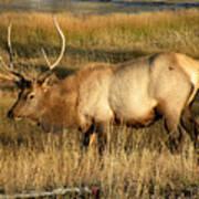 Wyoming Elk Art Print