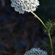 Yarrow In Stages Art Print