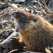 Yawning Marmot Art Print