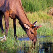 Yearling Elk Art Print