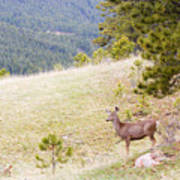 Yearling Mule Deer In The Pike National Forest Art Print