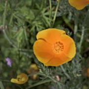 Yellow And Orange Poppy Art Print