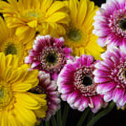 Yellow And Pink Gerbera Daisies Art Print