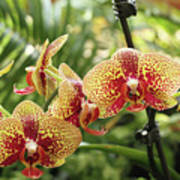 Yellow And Red Spotted Phalaenopsis Orchids Art Print