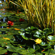 Yellow And Red Water Lilies In A Pond Art Print