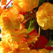 Yellow Begonia Flowers.  Victoria Art Print