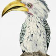 Yellow-billed Hornbill Watercolor Painting Art Print
