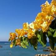Yellow Bougainvillea Over The Mediterranean On The Island Of Cyprus Art Print