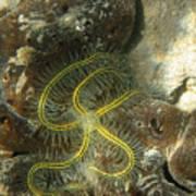 Yellow Brittle Star Under The Dock Art Print