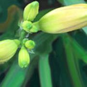 Yellow Buds Art Print