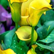 Yellow Calla Lilies Art Print