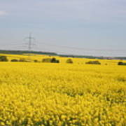 Yellow Canola Field Art Print
