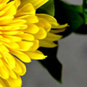 Yellow Chrysanthemum Flower Art Print