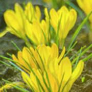 Yellow Crocuses Close Up Art Print