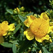 Yellow Crown Flower Art Print