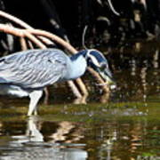 Yellow Crowned Night Heron Catches A Crab Art Print