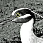 Yellow Crowned Night Heron. Art Print