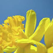 Yellow Daffodils Flowers Art Blue Sky Spring Baslee Troutman Art Print